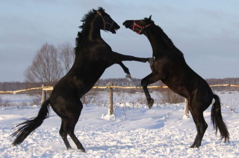 Two horses fight it out, may the best horse win!